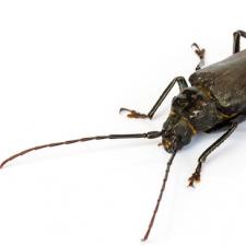 long-horn-beetle